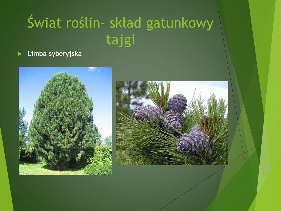 Świat roślin- skład gatunkowy tajgi Limba syberyjska