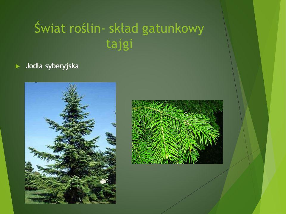 Świat roślin- skład gatunkowy tajgi Jodła syberyjska