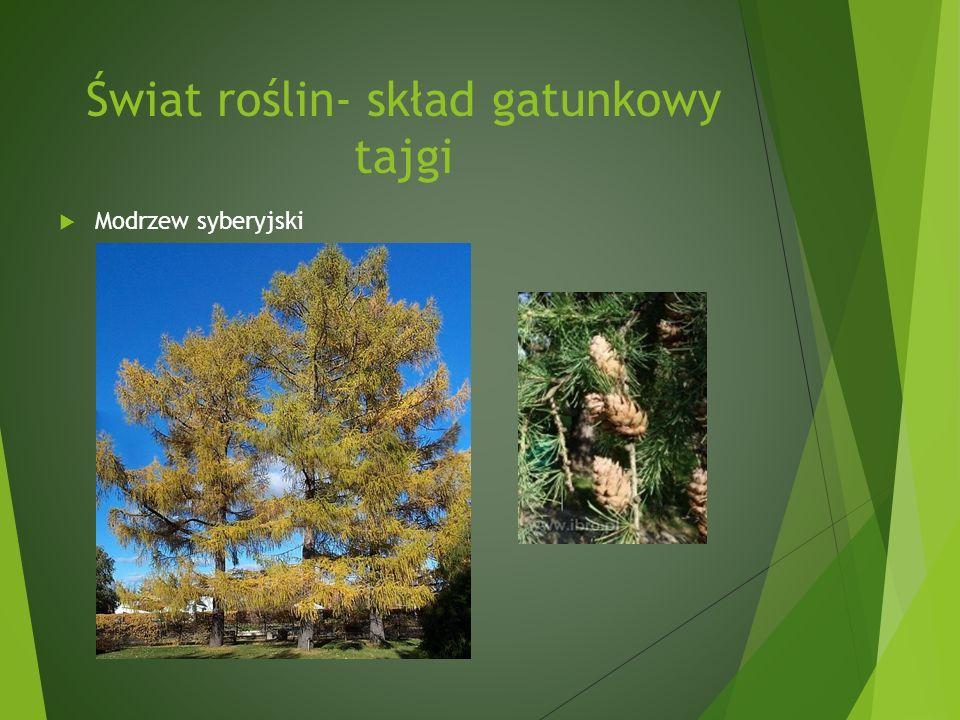 Świat roślin- skład gatunkowy tajgi Modrzew syberyjski
