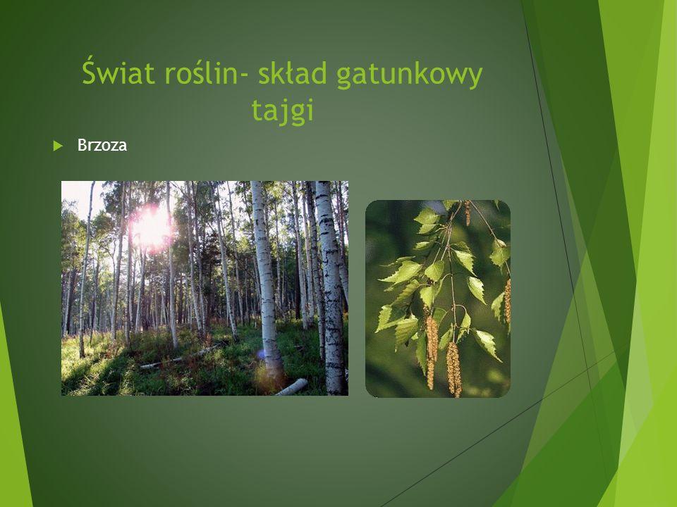 Świat roślin- skład gatunkowy tajgi Brzoza