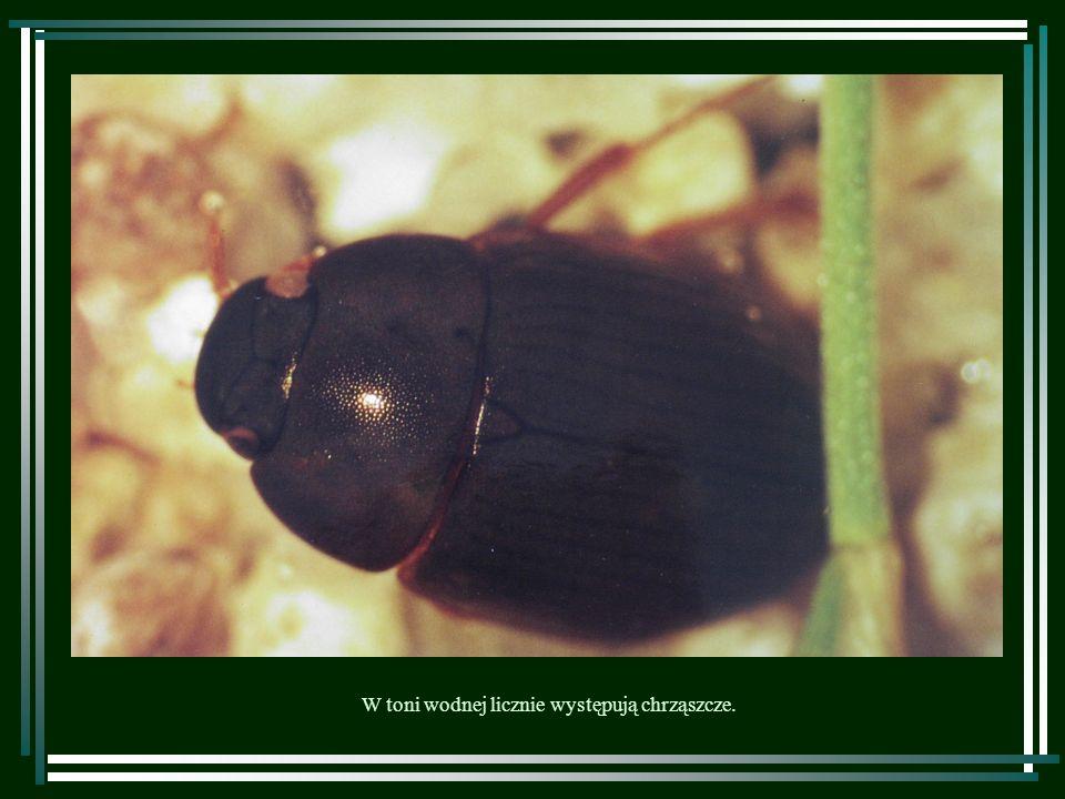 w przeciwieństwie do larw ważek, które przebywają w wodzie do czasu przeobrażenia. Pluskwiaki są stałymi bywalcami wód stojących,