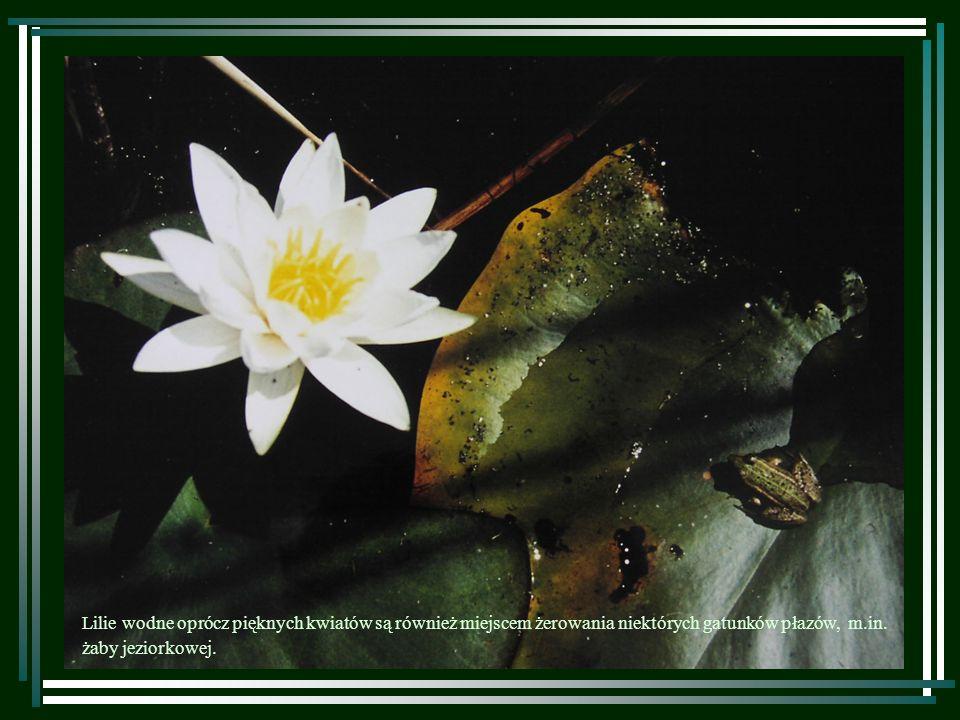 W toni wodnej licznie występują chrząszcze.