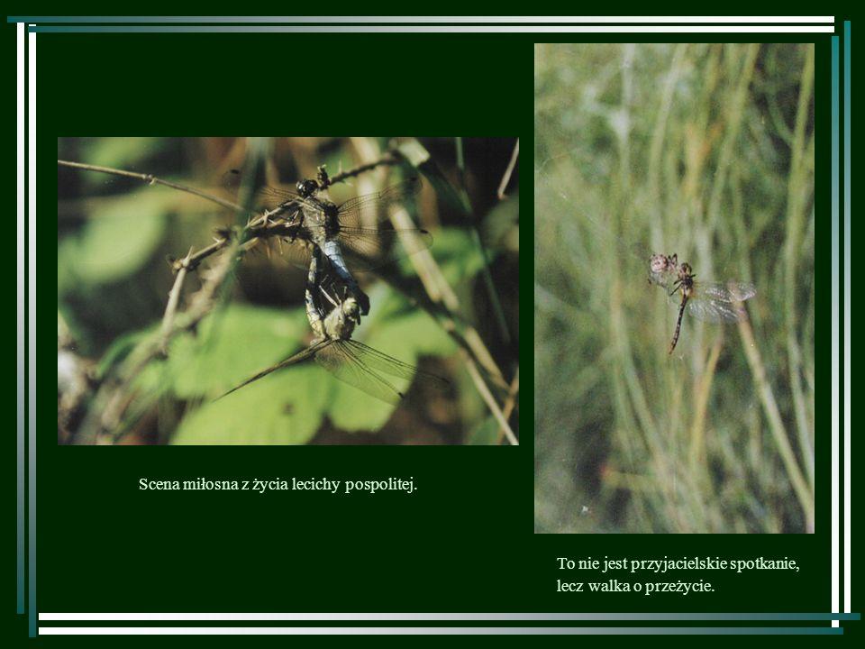 Osobnik ważki czteroplamej w chwili przeobrażenia się z larwy w formę dorosłą (zdjęcie po lewej) i już w całej okazałości.