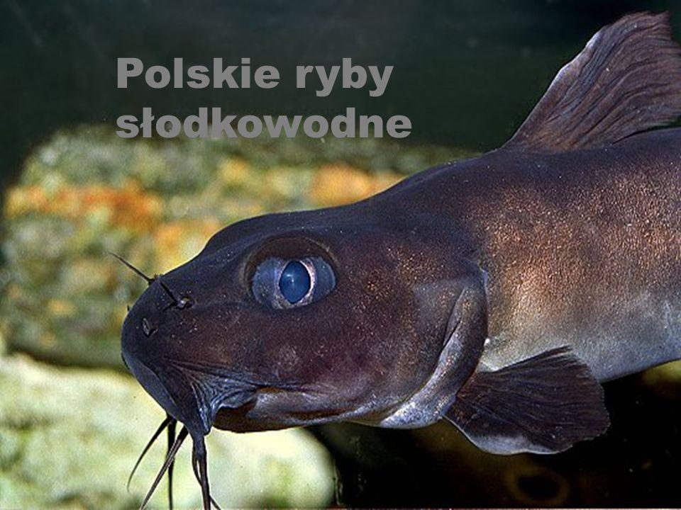 Galeria ryb Polskie ryby słodkowodne Ryby morskie Dziwne ryby Ryby akwariowe Powrót Koniec