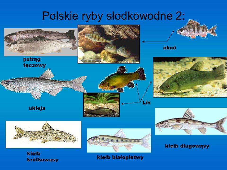 Polskie ryby słodkowodne 1:1: szczupak leszcz kar p sum