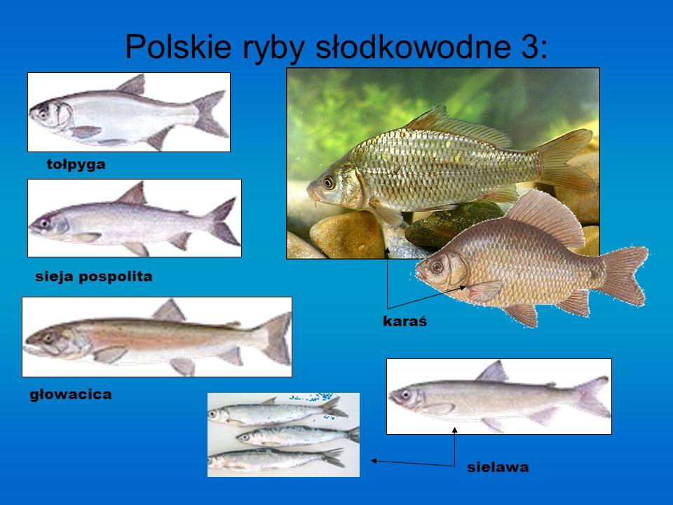 Polskie ryby słodkowodne 2: pstrąg tęczowy kiełb krótkowąsy kiełb białopłetwy kiełb długowąsy ukleja okoń Lin