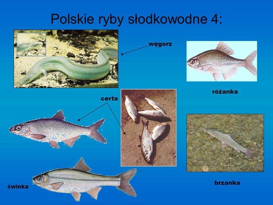 Polskie ryby słodkowodne 3: sielawa karaś tołpyga głowacica sieja pospolita