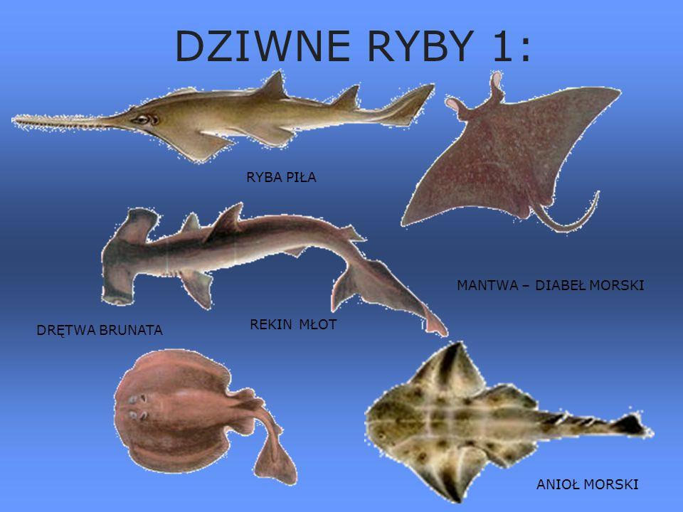 Ryby morskie 4:4: żarłacz śledziowy rekin szary rekin młot rekin polarny żarłacz biały- rekin ludojad Rekiny Galeria ryb