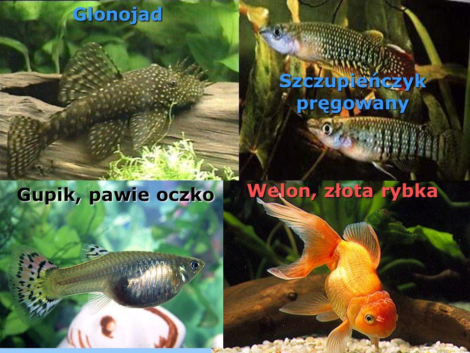 bojownik, b) danio malabarski, c) gupik, 1 - samica, 2 - samiec, d) mieczyk Hellera, 1 - samiec, 2 - samica, e) wielkopłetw wspaniały, f) pielęgnica pawiooka, g) paletka brunatna, h) brzanka sumatrzańska, i) gurami mozaikowy, j) skalar wspaniały.