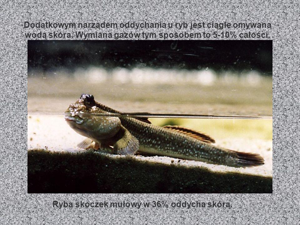 SKRZELA Skrzela to podstawowy narząd oddechowy ryb. Są zbudowane z płatków cienkiej skóry, tzw. listków skrzelowych Służą one do pobierania rozpuszczo