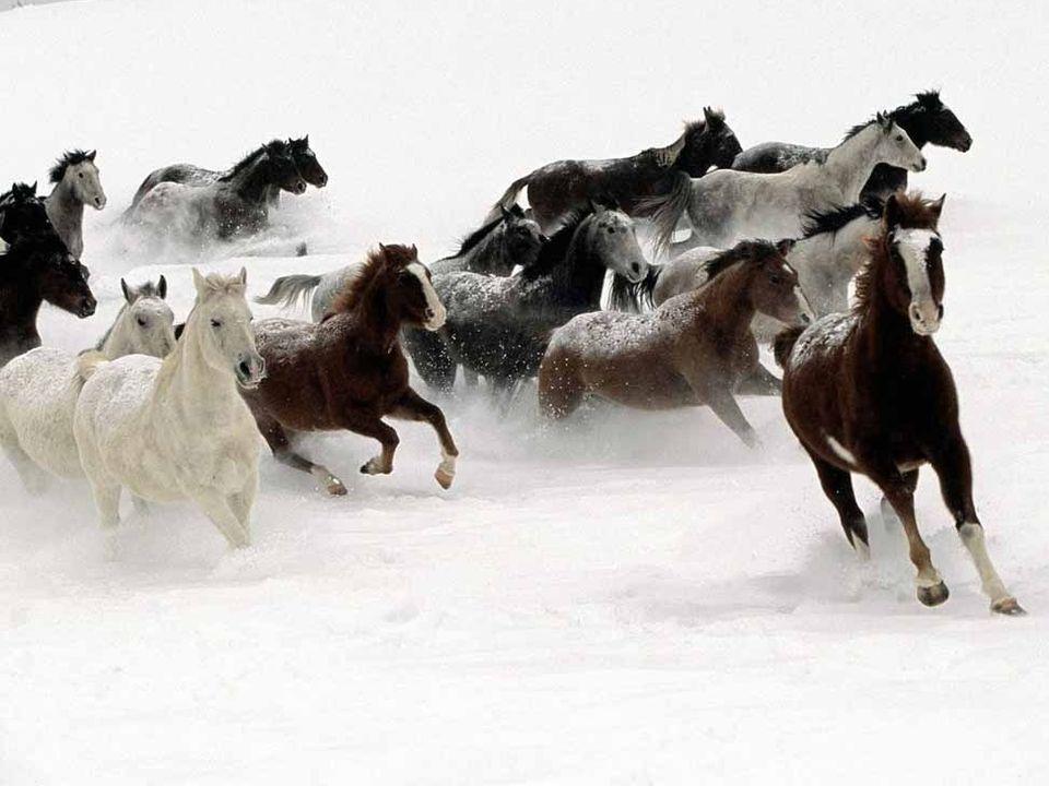 Konie narowiste Nad urwiskiem nad przepaścią śnieżną zamieć przeganiając Na złamanie karku gnam nahajką konie poganiając Już brakuje mi powietrza, wiatr i mgłę łapczywie piję I z zachwytem dzikim wołam: nie przeżyję, nie przeżyję...