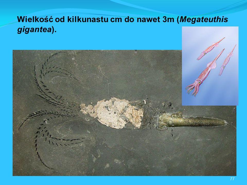 77 Wielkość od kilkunastu cm do nawet 3m (Megateuthis gigantea).