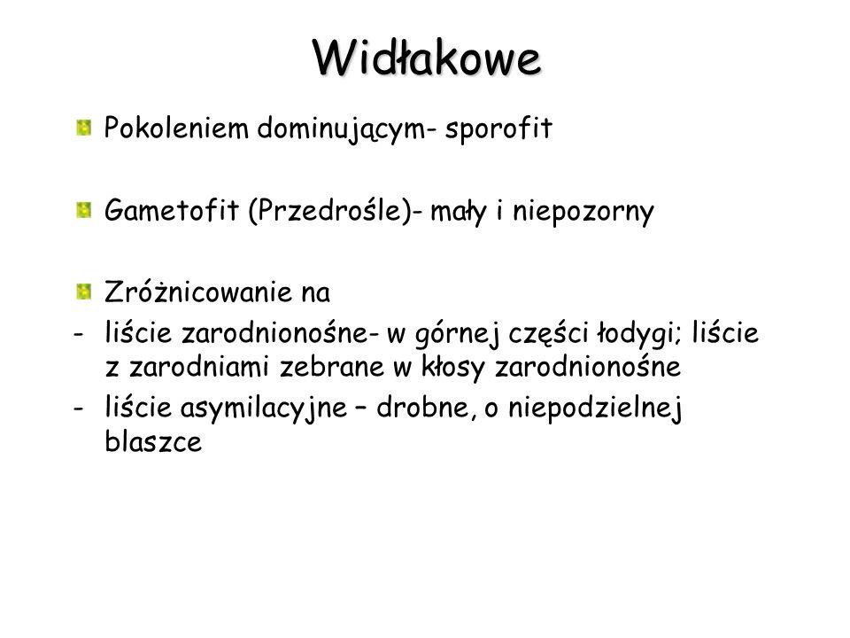 Widłakowe Pokoleniem dominującym- sporofit Gametofit (Przedrośle)- mały i niepozorny Zróżnicowanie na -liście zarodnionośne- w górnej części łodygi; l