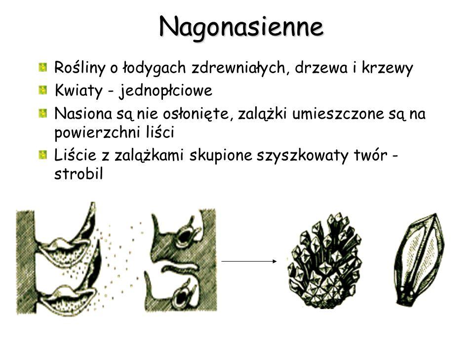 Nagonasienne Rośliny o łodygach zdrewniałych, drzewa i krzewy Kwiaty - jednopłciowe Nasiona są nie osłonięte, zalążki umieszczone są na powierzchni li