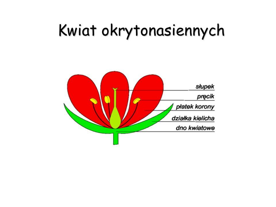 Kwiat okrytonasiennych Kwiat okrytonasiennych