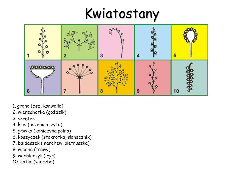 Kwiatostany 1. grono (bez, konwalia) 2. wierzchotka (goździk) 3. skrętek 4. kłos (pszenica, żyto) 5. główka (koniczyna polna) 6. koszyczek (stokrotka,