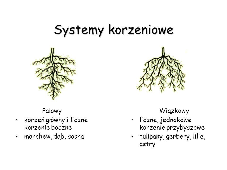 Systemy korzeniowe Palowy korzeń główny i liczne korzenie boczne marchew, dąb, sosna Wiązkowy liczne, jednakowe korzenie przybyszowe tulipany, gerbery