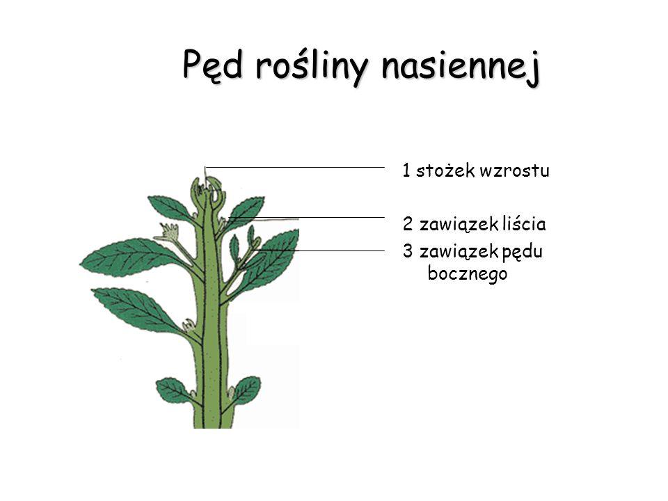 Pęd rośliny nasiennej 1 stożek wzrostu 2 zawiązek liścia 3 zawiązek pędu bocznego