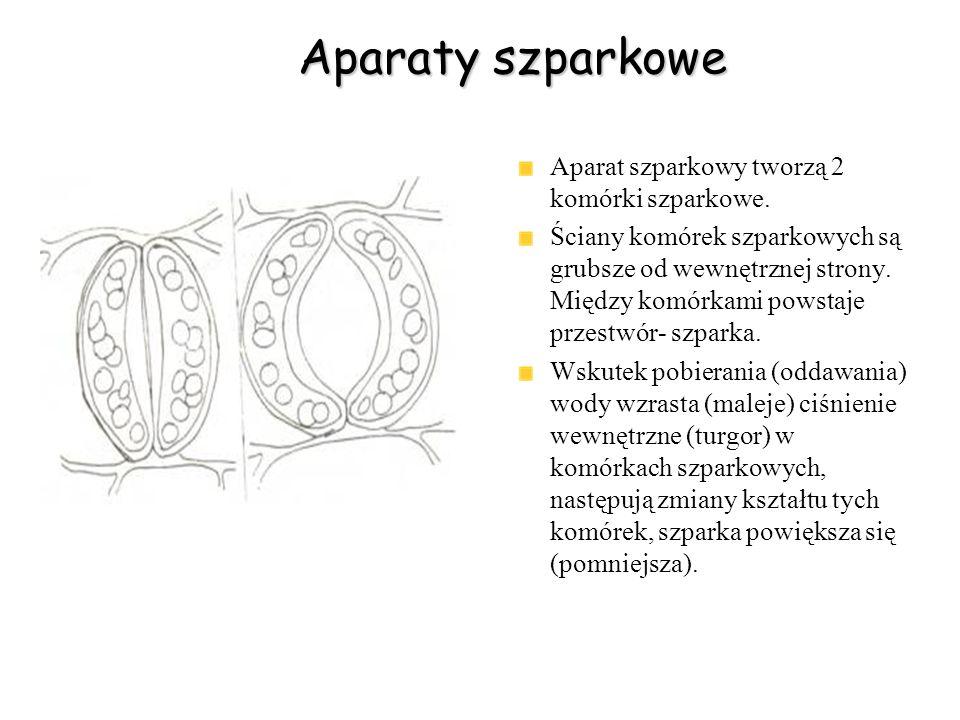 Aparaty szparkowe Aparat szparkowy tworzą 2 komórki szparkowe. Ściany komórek szparkowych są grubsze od wewnętrznej strony. Między komórkami powstaje