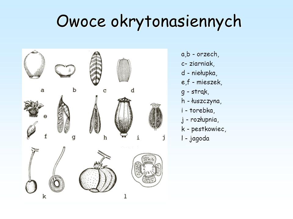 Owoce okrytonasiennych a,b - orzech, c- ziarniak, d - niełupka, e,f - mieszek, g - strąk, h - łuszczyna, i - torebka, j - rozłupnia, k - pestkowiec, l