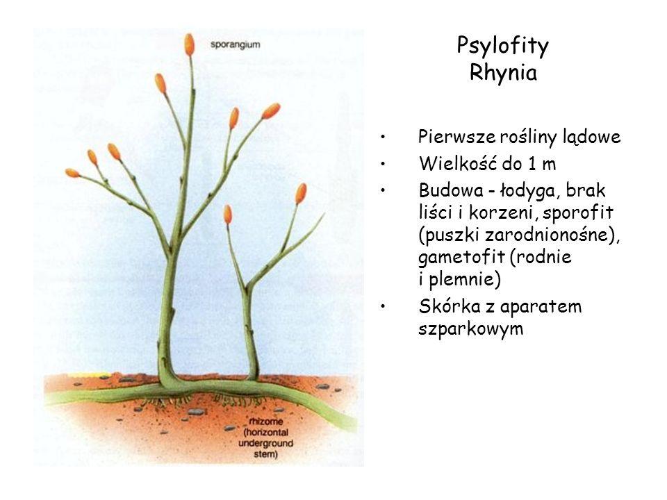 Psylofity Rhynia Pierwsze rośliny lądowe Wielkość do 1 m Budowa - łodyga, brak liści i korzeni, sporofit (puszki zarodnionośne), gametofit (rodnie i p