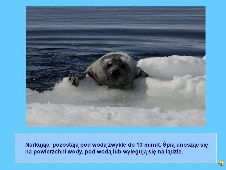 WESOŁY ŻYWOT FOKI: Foki to zwierzęta wodno – lądowe. Podczas, gdy na lądzie są ociężałe i niezaradne, w wodzie okazują się być wspaniałymi pływakami.