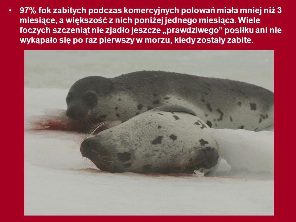 Znaczną część fok obdziera się ze skóry ŻYWCEM! W 2001 roku niezależna grupa ekspertów weterynarii przeprowadziła sekcje ciał fok na miejscu polowania