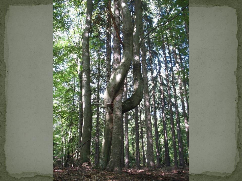 Tajemnice lasu Rosną dęby rosną buki Kłębią się korzeni łuki Zza drzew stwory wyzierają Straszne odgłosy wydają.