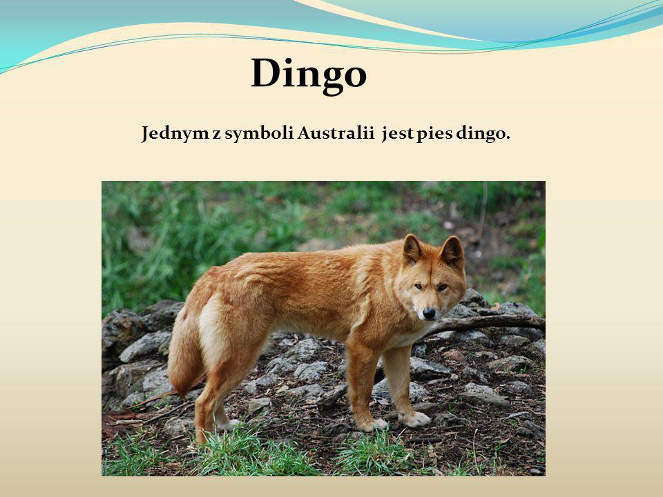 Dingo Jednym z symboli Australii jest pies dingo.