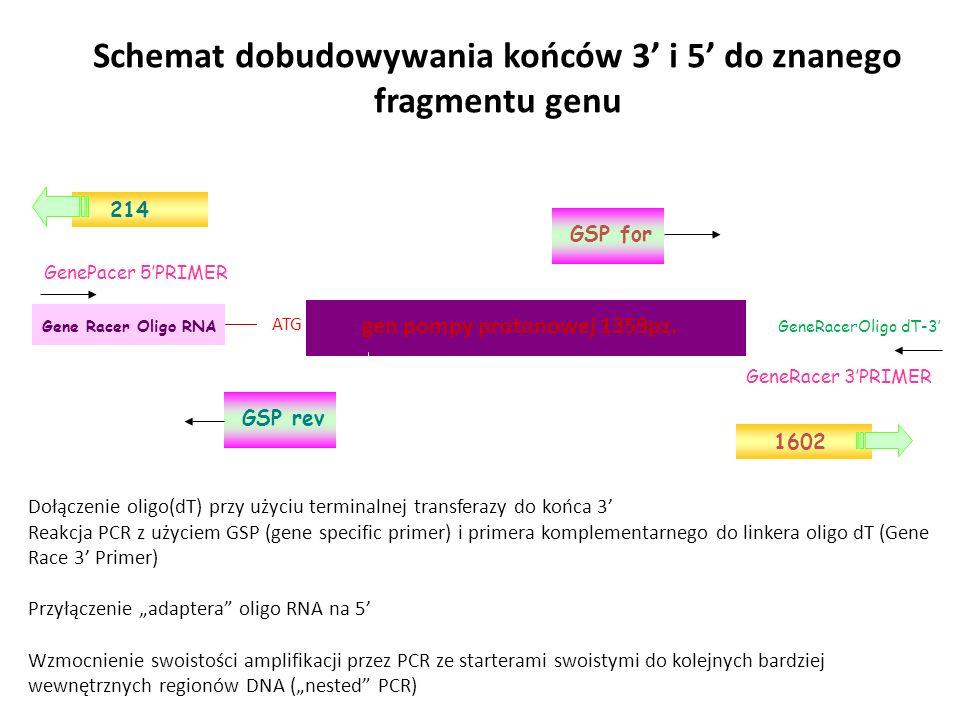 ATG Gene Racer Oligo RNA gen pompy protonowej 1359pz. GeneRacerOligo dT-3 GenePacer 5PRIMER GeneRacer 3PRIMER GSP for GSP rev 1602 214 Schemat dobudow