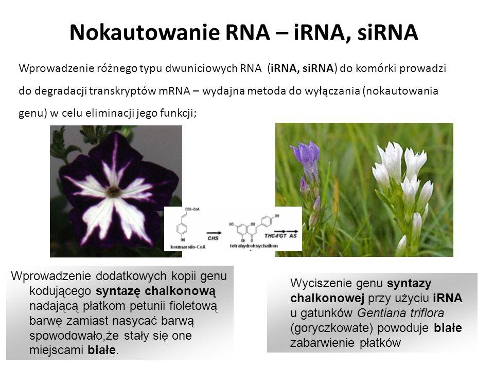 Nokautowanie RNA – iRNA, siRNA Wprowadzenie różnego typu dwuniciowych RNA (iRNA, siRNA) do komórki prowadzi do degradacji transkryptów mRNA – wydajna