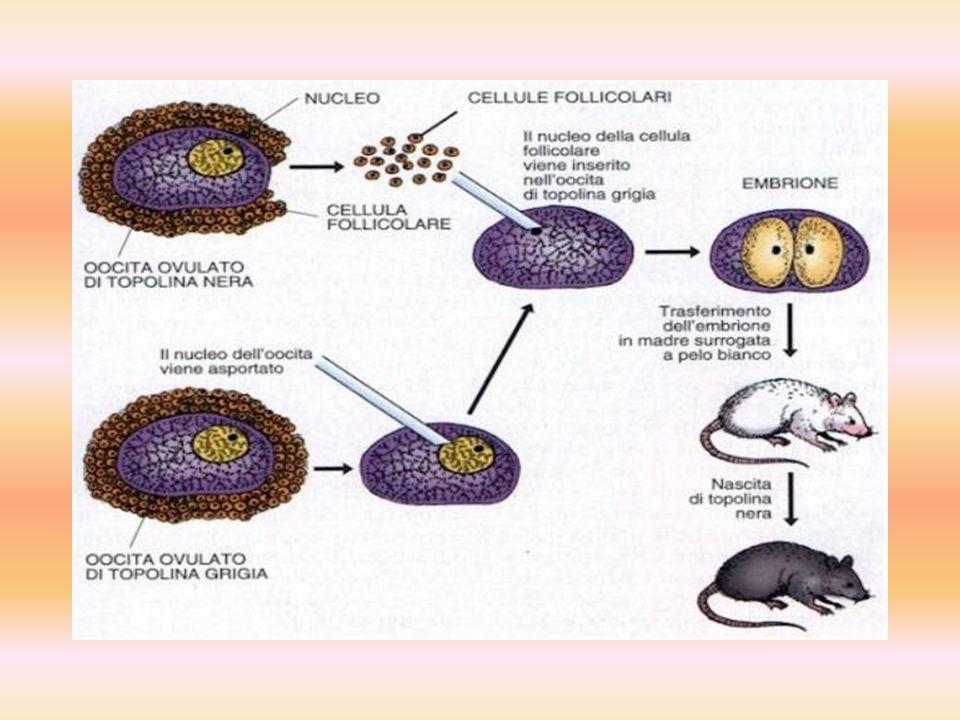 Cumulina - mysz, pierwsze zwierzę sklonowane z dojrzałych somatycznych komórek dorosłego organizmu, które dożyło wieku dorosłego. Sklonowano ją używaj