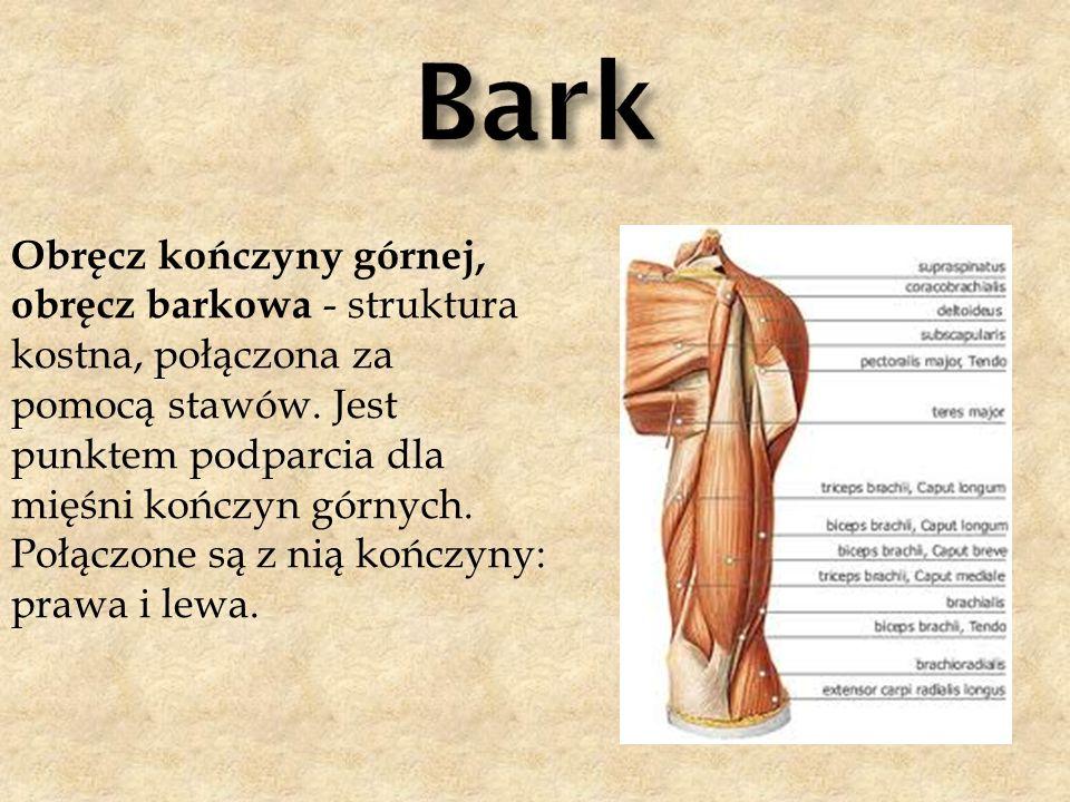 Obręcz kończyny górnej, obręcz barkowa - struktura kostna, połączona za pomocą stawów. Jest punktem podparcia dla mięśni kończyn górnych. Połączone są
