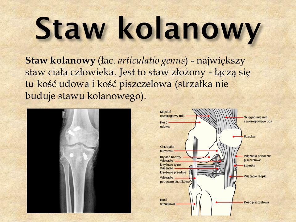 Staw kolanowy (łac. articulatio genus ) - największy staw ciała człowieka. Jest to staw złożony - łączą się tu kość udowa i kość piszczelowa (strzałka