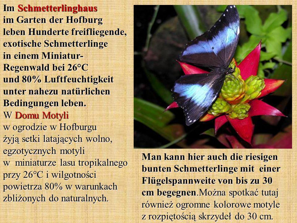 Im Schmetterlinghaus im Garten der Hofburg leben Hunderte freifliegende, exotische Schmetterlinge in einem Miniatur- Regenwald bei 26°C und 80% Luftfe
