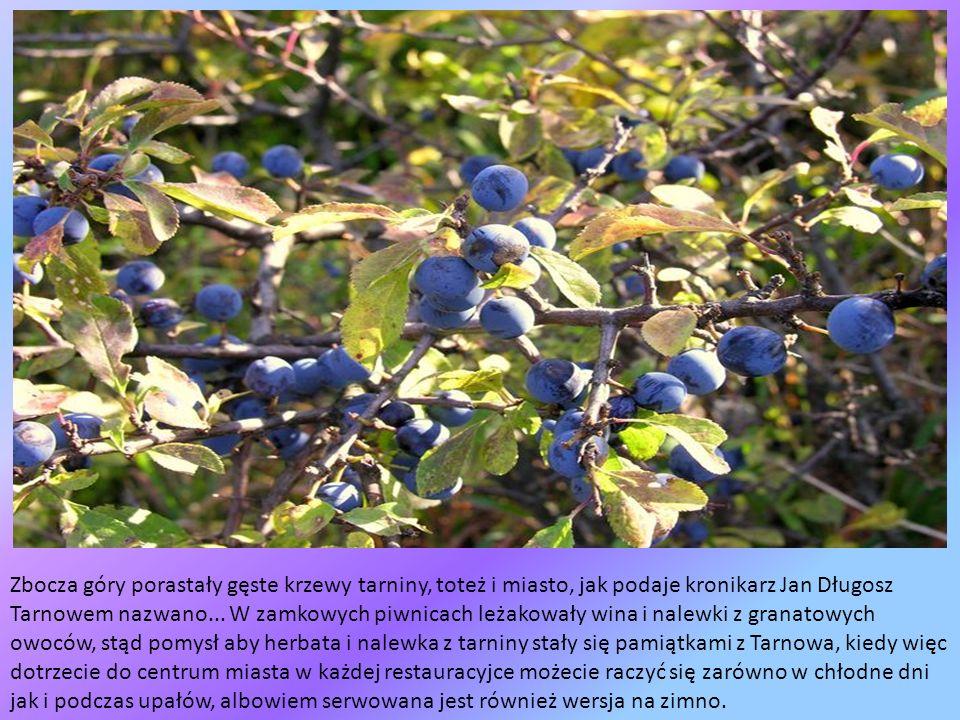 Zbocza góry porastały gęste krzewy tarniny, toteż i miasto, jak podaje kronikarz Jan Długosz Tarnowem nazwano...