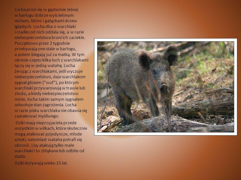 Dzik Dzik jest podobny do świni domowej, różnią go jednak od niej: gwizd ( ryj) ma długi, słuchy stojące, mocno obrośnięte, ogon prosty, nie skręcony