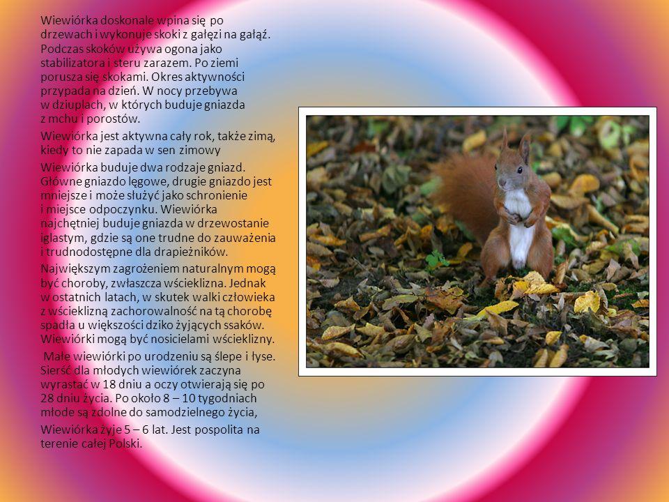 Wiewiórka Wiewiórka jest zwierzęciem bardzo charakterystycznym. Ma dość smukłą i zgrabna sylwetkę, w której zwraca uwagę długi (nieraz równy długości
