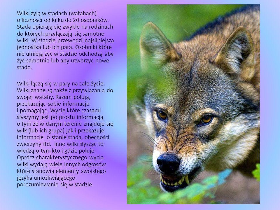 Wilk Wilk jest drapieżnikiem i do swojego życia potrzebuje średnio ok. 1.3kg mięsa (wraz z kośćmi i skórą) dziennie. W naturze żywi się drobnymi zwier