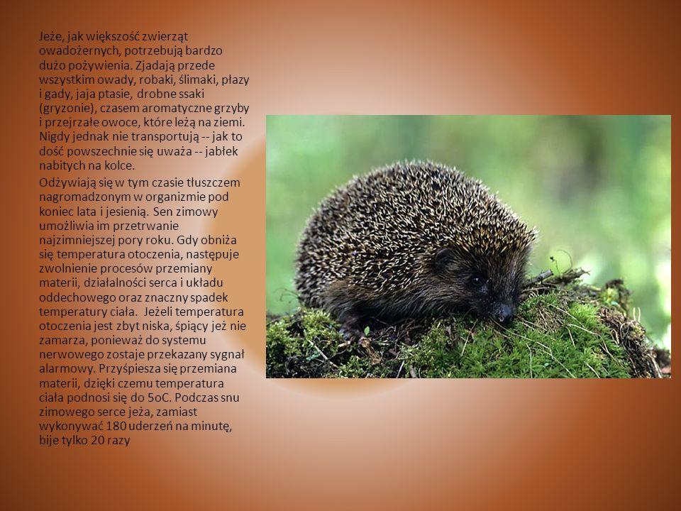 Jeż Jeże to zwierzęta aktywne o zmierzchu i w nocy. W dzień śpią ukryte pod liśćmi, w rozpadlinach ziemnych i jamkach. 0 zmierzchu wychodzą z ukrycia