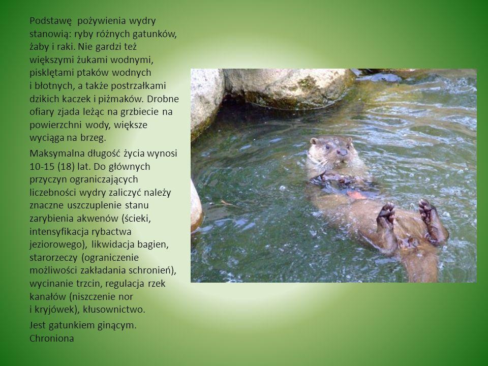 Wydra Wydra Ciało wysmukłe, spłaszczone, głowa płaska, szeroka, niewielkie małżowiny uszne, kończyny krótkie z błonami pływnymi i pazurami, ogon silni
