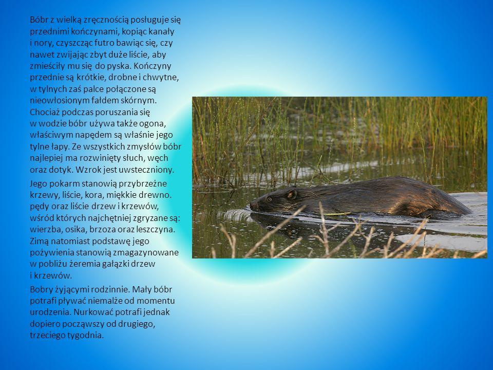 Bóbr Masywna budowa ciała; futro bardzo gęste, od szaro- do czarnobrunatnego; ogon spłaszczony, pokryty łuskami, uszy i oczy małe, palce tylnych nóg s
