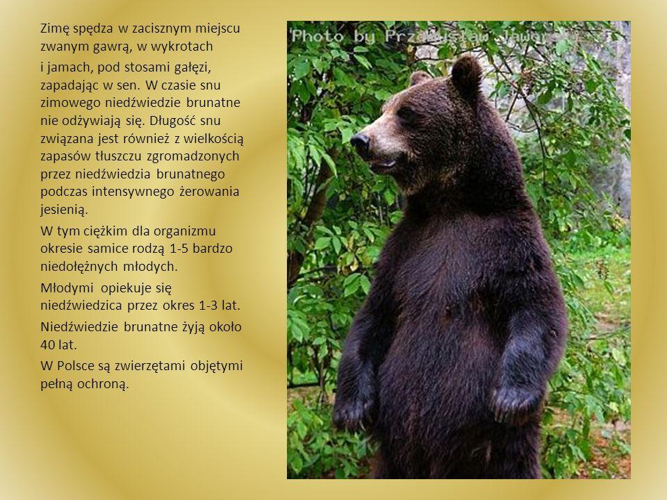 Niedźwiedź brunatny Niedźwiedź brunatny uchodzi za najpotężniejszego drapieżnika lądowego. Ten potężny mieszkaniec trudno dostępnych nizinnych i górsk