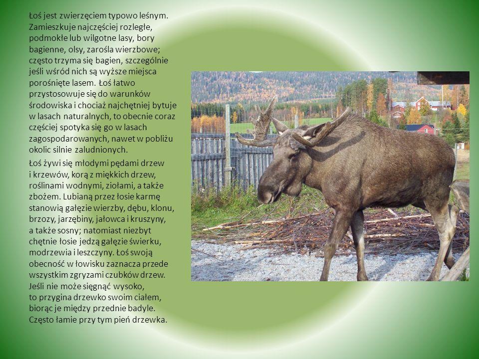 Łoś Łoś jest największą żyjącą w Polsce zwierzyną płową. Jest zwierzęciem dużym i silnym, o krępej, zwięzłej budowie. Długie silne nogi (badyle), masy