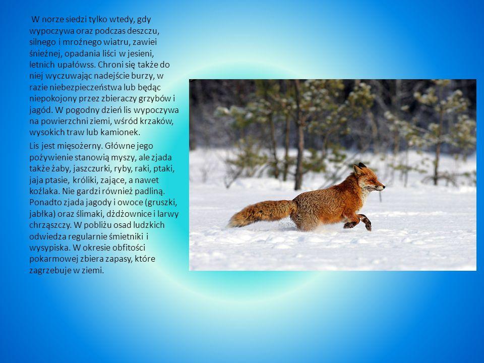 Lis Lis jest najpospolitszym drapieżnikiem w naszym kraju, należy do rodziny psów. Nogi ma cienkie, krótkie, tułów długi, ogon (kita) ma długi i puszy