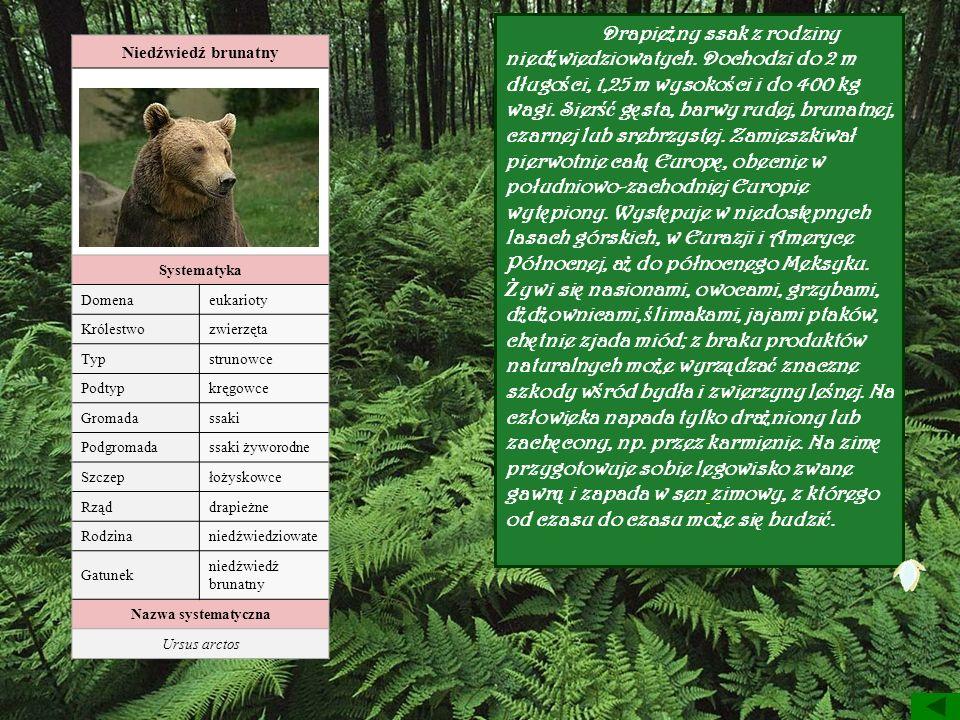 Niedźwiedź brunatny Systematyka Domenaeukarioty Królestwozwierzęta Typstrunowce Podtypkręgowce Gromadassaki Podgromadassaki żyworodne Szczepłożyskowce