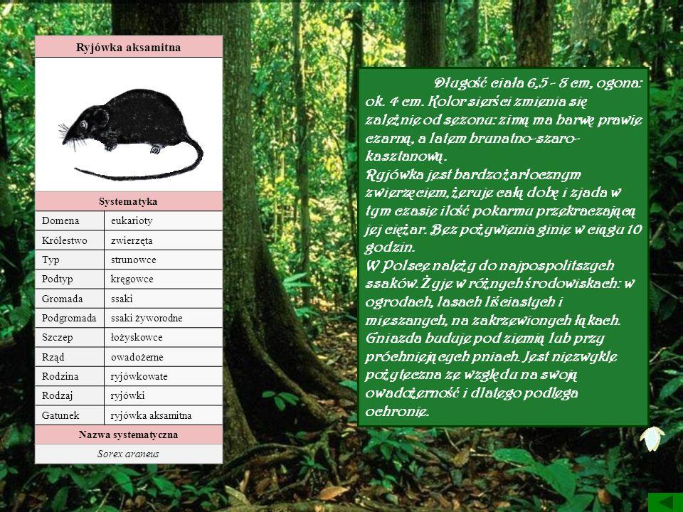 Ryjówka aksamitna Systematyka Domenaeukarioty Królestwozwierzęta Typstrunowce Podtypkręgowce Gromadassaki Podgromadassaki żyworodne Szczepłożyskowce R