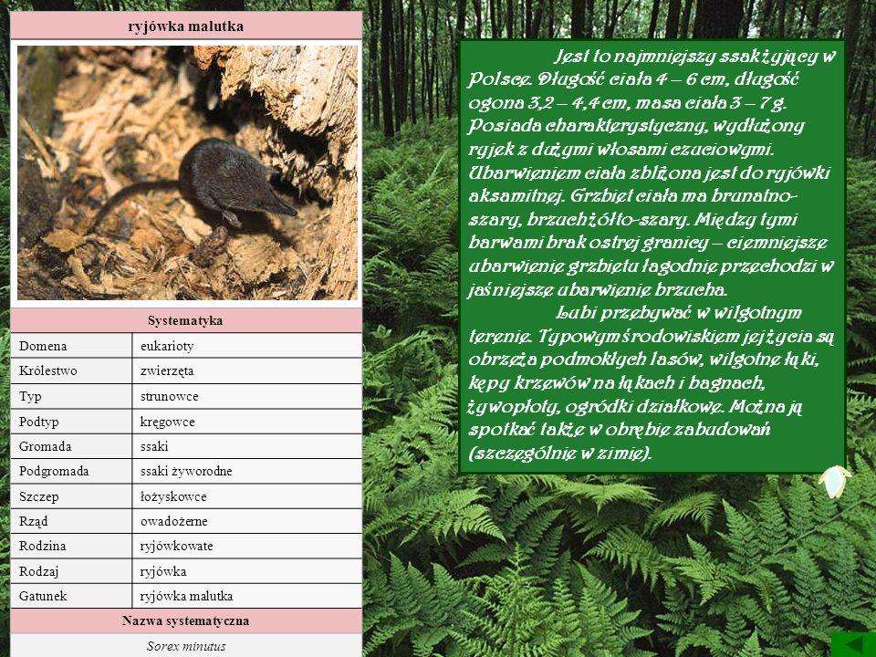 ryjówka malutka Systematyka Domenaeukarioty Królestwozwierzęta Typstrunowce Podtypkręgowce Gromadassaki Podgromadassaki żyworodne Szczepłożyskowce Rzą