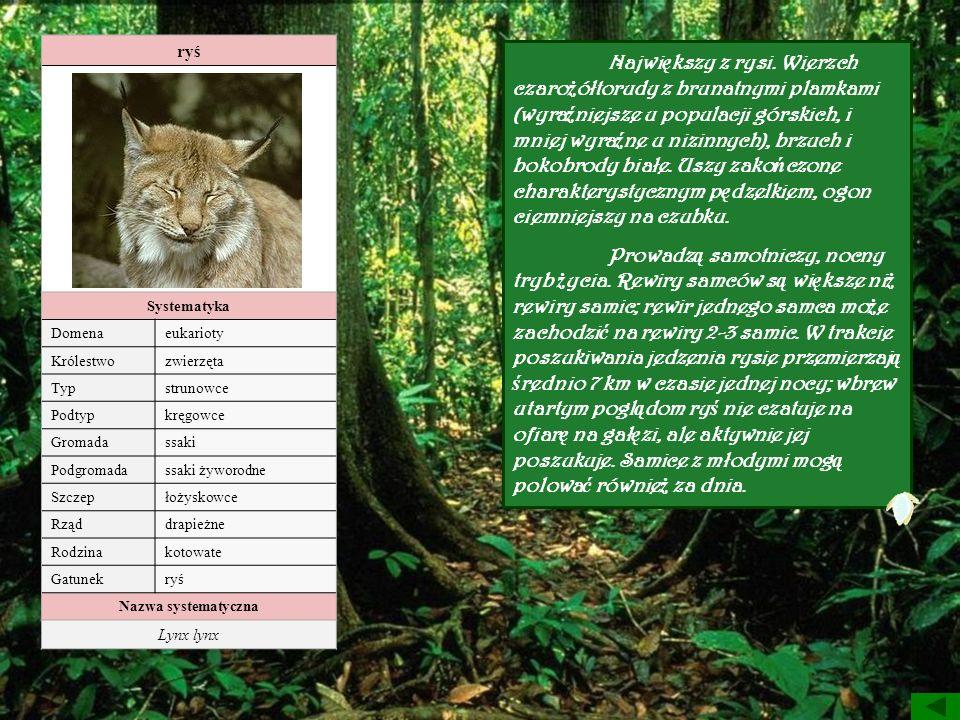 ryś Systematyka Domenaeukarioty Królestwozwierzęta Typstrunowce Podtypkręgowce Gromadassaki Podgromadassaki żyworodne Szczepłożyskowce Rząddrapieżne R
