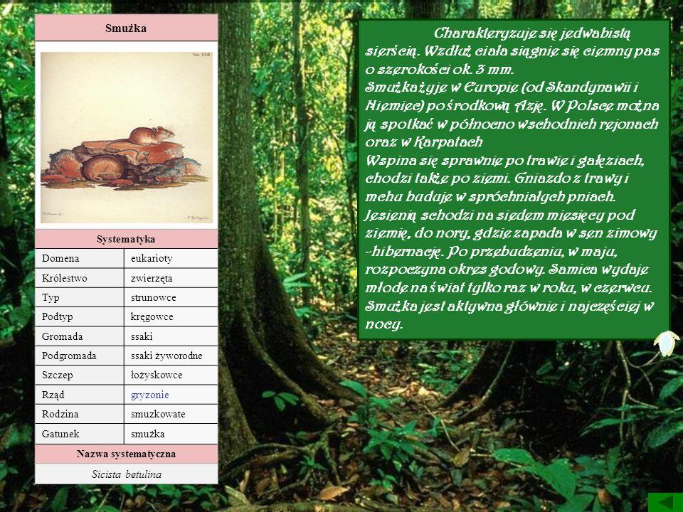 Smużka Systematyka Domenaeukarioty Królestwozwierzęta Typstrunowce Podtypkręgowce Gromadassaki Podgromadassaki żyworodne Szczepłożyskowce Rządgryzonie